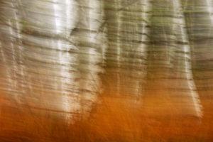 abstract shot of a birch grove, motion blur
