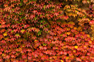 Autumnal vine leaves at a wall