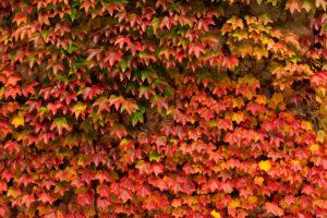 Herbstliches Weinlaub an einer Mauer
