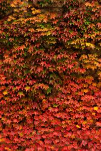 Herbstliches Weinlaub an einer Mauer.