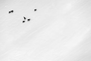 A group chamois in bad weather in winter in a mountainside of the Soierngruppe in the Karwendel.