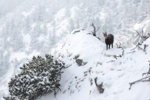 Gämse auf einem verschneiten Vorsprung unterhalb des Gipfels vom Herzogstand.