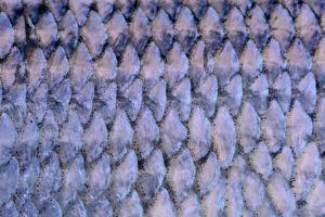 Fischschuppen einer Renke als Makroaufnahme