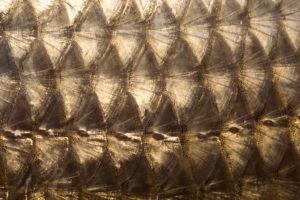 Fischschuppen in Nahaufnahme