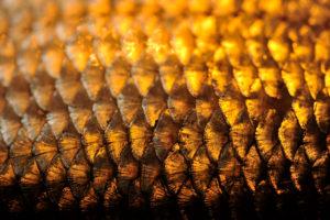 Fischschuppen im goldenen Licht fotografiert