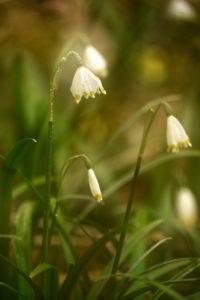 Blütenstand der Frühlingsknotenblume (Leucojum vernum)