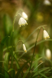 Inflorescence of the spring snowflake (Leucojum vernum)
