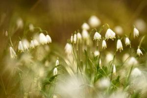 Inflorescence of the spring snowflake (Leucojum vernum)