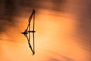 Schemen eines Schilfhalmes im Wasser einen kleinen Sees bei Sonnenuntergang. Kleine Eintagsfliegen nutzen den Halm für eine Pause....