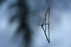Silhouette of a reed stalk in the water a small lake at sundown. Small day flies using the stalk for a break