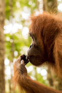 Orangutan in portrait