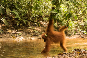 Orangutan looking for food in a creek in the jungle of Indonesia