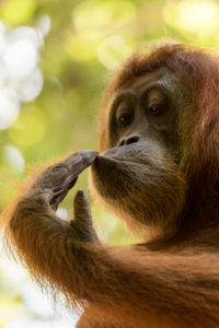 Orangutan smelling on his hand in portrait