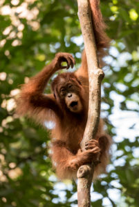Young orangutan on thick branch
