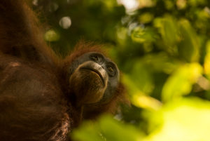 Orangutan in the leaf thicket