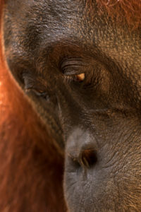 Portrait of an orangutan female in Gunung Leuser National Park