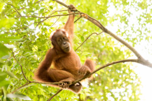 Young orangutan in the jungle, sitting on thin branches and looking relaxed into the camera,