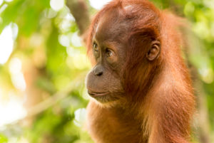 Young orangutan in portrait