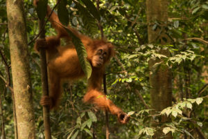 Orangutan in the jungle of Indonesia