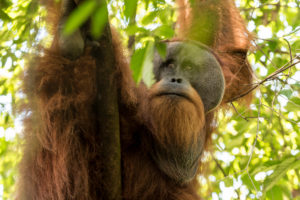 Male orangutan in the jungle