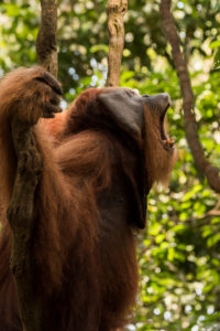Male orangutan shouting in the jungle