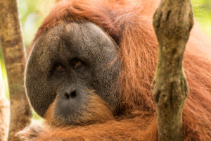 Male orangutan in the in indonesian jungle