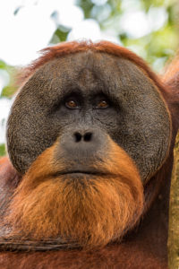 Male orangutan in branches
