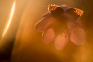 Leberblümchen, Hepatica nobilis im Gegenlicht
