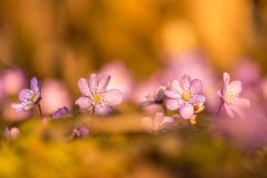 Liverwort Hepatica nobilis