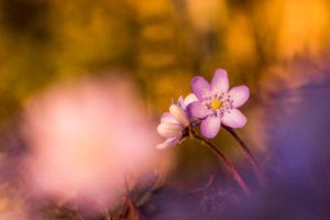 Hepatica, Hepatica nobilis, blur