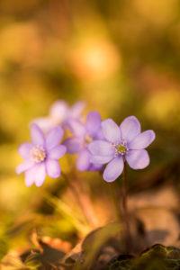 Leberblümchen, Hepatica nobilis, Nahaufnahme