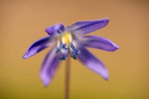 Bluestar also called Scilla, blossom, detail,