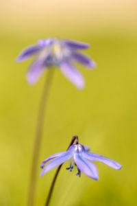 Blaustern auch Scilla genannt, Blüten, Unschärfe,
