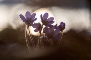 Hepatica nobilis hepatica in the back light of the setting sun