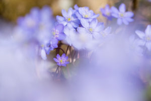 Leberblümchen, Hepatica nobilis, Unschärfe
