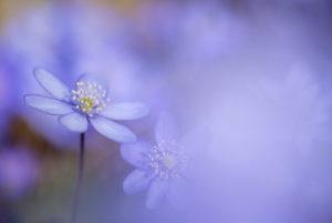Leberblümchen, Hepatica nobilis, Unschärfe,