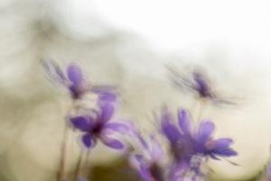 Leberblümchen Hepatica nobilis unscharf im gegenlicht