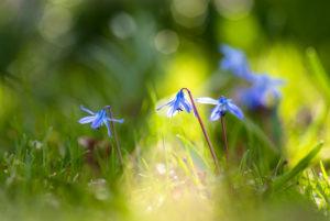 Bluestar also called Scilla, Meadow, Flowers,