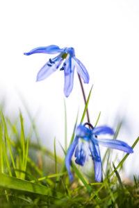 Blaustern auch Scilla genannt, Wiese, Detail,