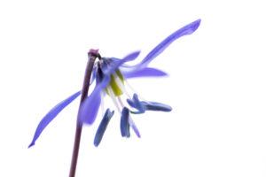 Blaustern auch Scilla genannt, Freisteller,