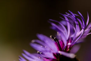 Blossom of the mountain Knapweed