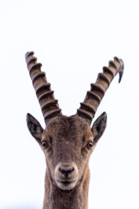 An Alpine ibex in portrait in front of the white sky