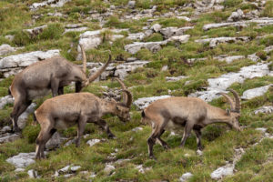Three ibexes graze next to each other on the mountainside