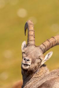 Alpine ibex (Capra ibex) in the mountains