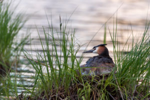 Great Crested Grebe (Podiceps cristatus) on its nest