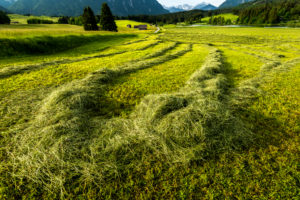 Hay harvest on the Schmalensee. The cut grass lies to dry in tracks on the field.