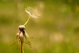 Single seedling of the meadow salsify (Tragopogon pratensis)