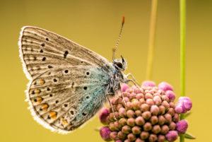 Bläuling (Lycaenidae) sitz auf einer Blüte