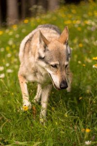 The Wolfhound Leica in a portrait, Czechoslovakian Wolfdog