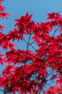 Brilliant ornamental maple leaves in front of blue sky
